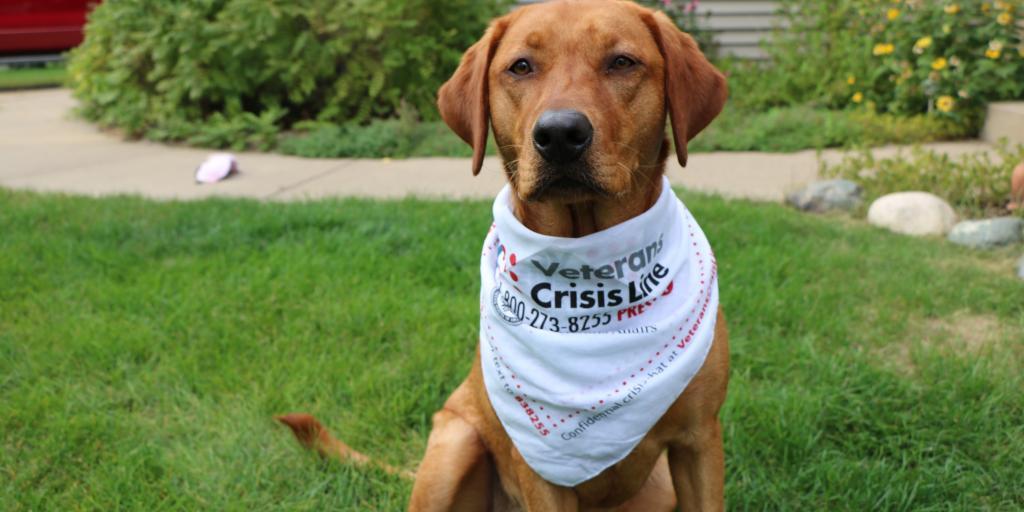 tan dog wearing a Veterans Crisis Line bandana