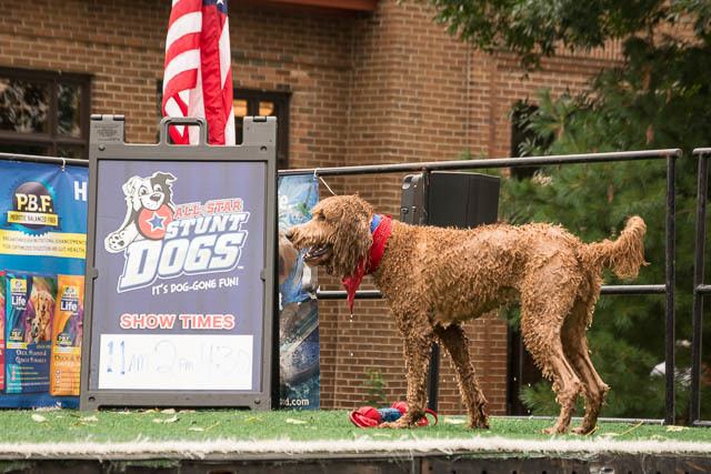 Wet dog panting next to a stunt dog sign