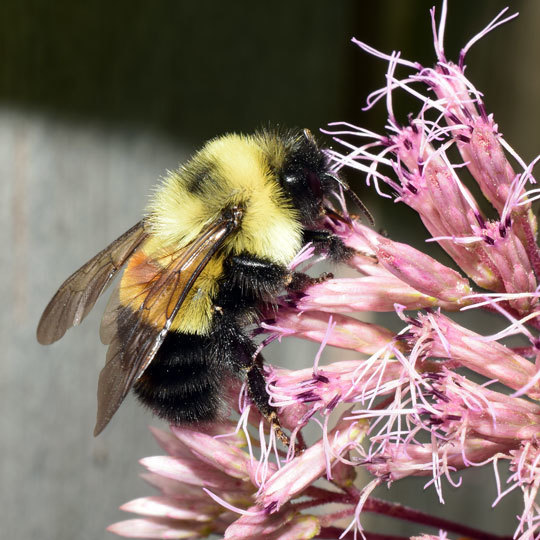 Rusty patched bumble bee Chris Smith Credit